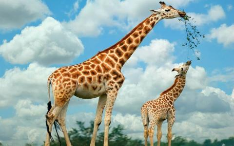 BBC自然世界《长颈鹿-非洲的温柔巨人 Giraffes: Africa's Gentle Giants》